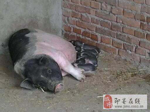 原种泰国小香猪