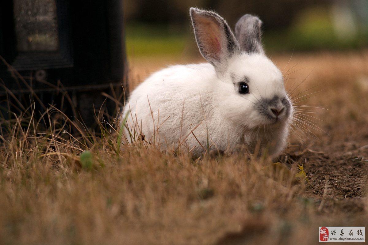 小白兔适合饲养,管理方便。靠吃胡萝卜为食。性情胆小、温顺。耳朵较长,能够灵活的象声源转动,而且由于布满长细血管,竖立时可以散热,紧贴在脊背上时则可以保暖。小白兔字表意思为幼小的白色的兔子。因为比较可爱,常出现在儿歌和冷笑话当中。 联系我时请说明是在兴县在线看到的 同城交易请当面进行,以免造成损失。外地交易信息或者超低价商品请慎重,谨防上当受骗。