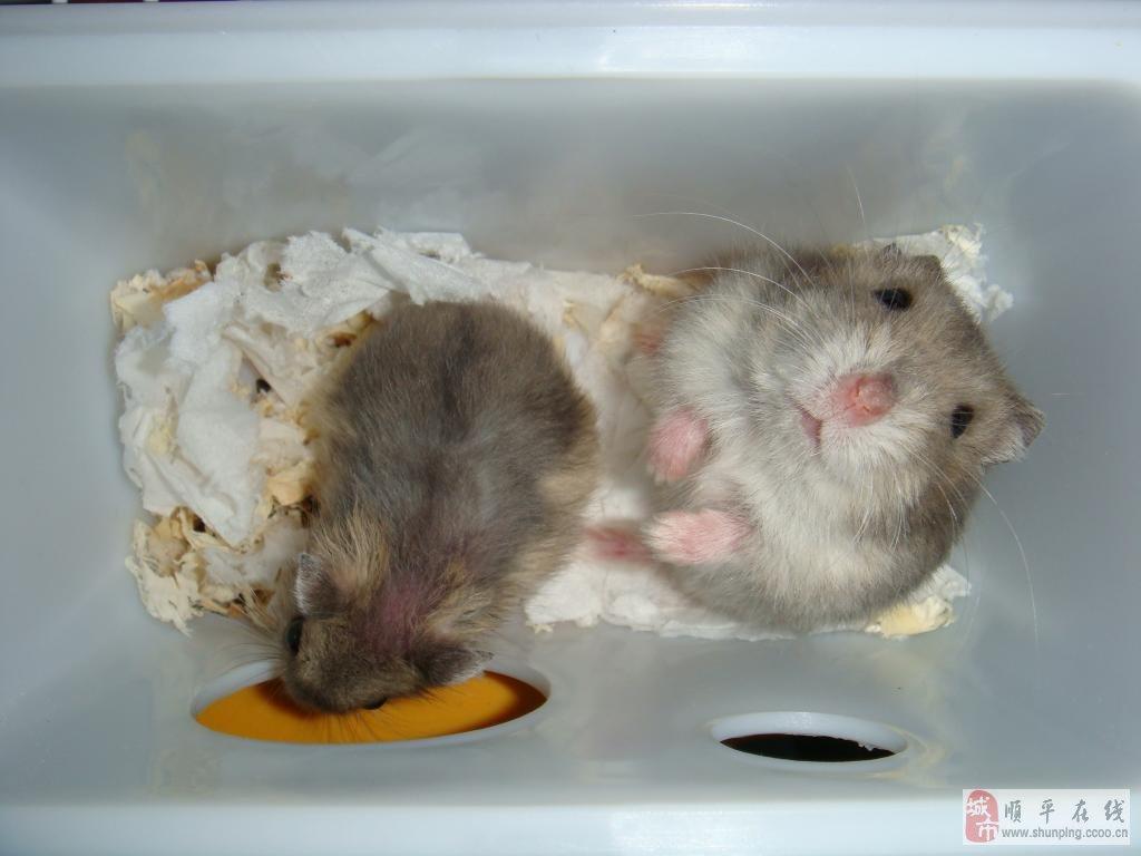 可爱小仓鼠找新家