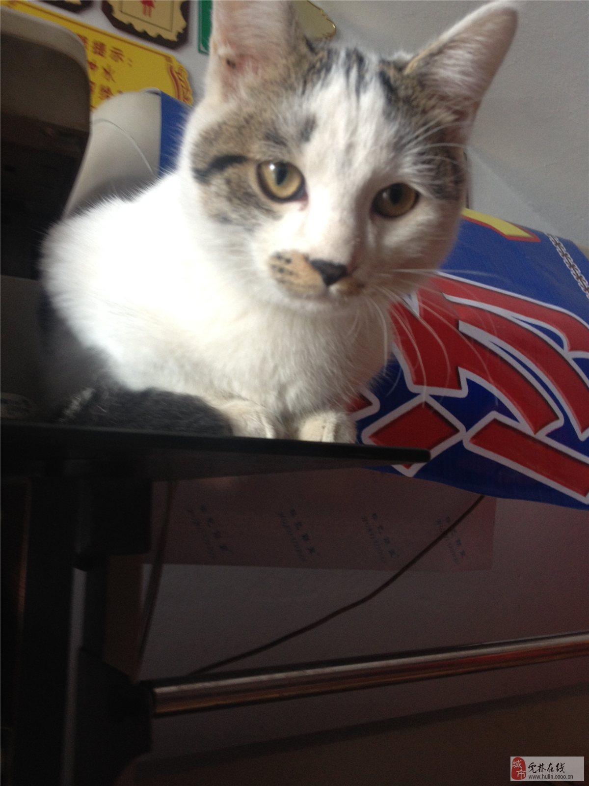 要求:有爱心 真心喜欢猫猫的 科学喂养 不离不弃,家人一致同意 小猫咪快4个月了、吃猫粮,不挑食 会用猫砂上厕所,不随地大小便,爱干净要求科学喂养不离不弃,他们的猫妈妈最近总咬她们,所以只能为小猫找个爱他的主人! 联系我时请说明是在虎林在线看到的 同城交易请当面进行,以免造成损失。外地交易信息或者超低价商品请慎重,谨防上当受骗。