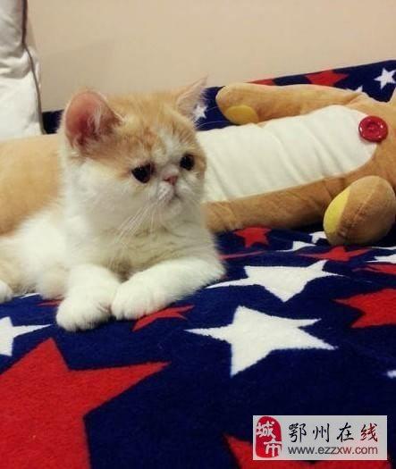 自养三个月大纯种可爱加菲猫