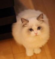 白色可爱的布偶猫赠送