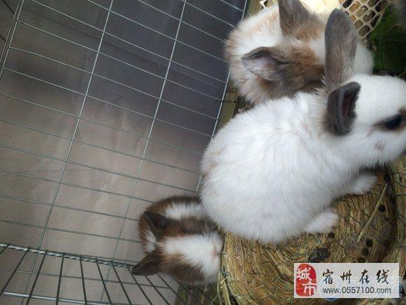 道奇兔垂耳兔出售全部30一只高清图片