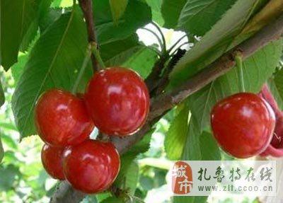 本地紫李子,晚红李子,123小苹果,沙果,苹果梨,香水梨,国光苹果,樱桃树