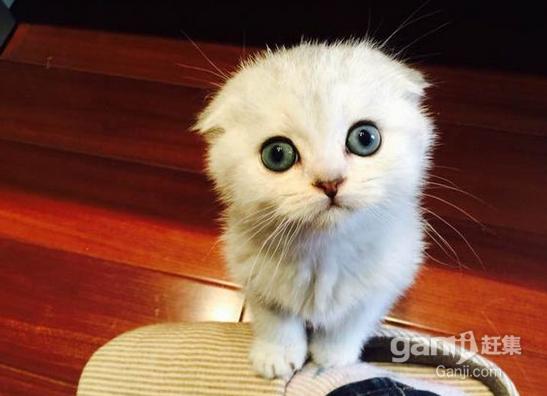 可爱小宝贝英短折耳猫寻有爱心的粑粑麻麻