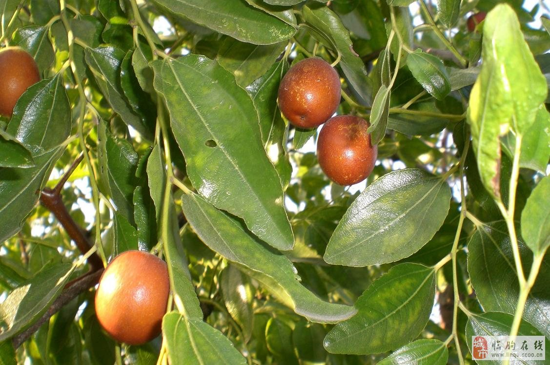 供应一批自家园内枣树苗/景观枣树苗