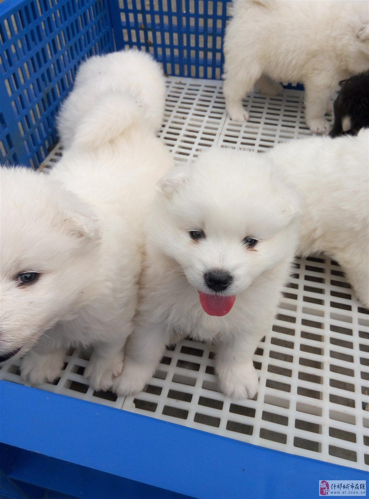 各类型的幼犬出售,泰迪熊,贵宾(白、黄、红棕,黑,巧克力,灰),比熊,吉娃娃,八哥,斗牛犬,博美,金毛寻回犬,拉布拉多犬,萨摩耶,阿拉斯加雪橇犬等各种宠物犬,没打过任何兴奋剂,刺激性药物,纯家养。但因家养,出售情况要看狗狗的生产规律,如若喜欢狗狗,需要狗狗请致电。PS:还可对外提供种公犬配种~~~~~~~~(注:买家若有疑问请致电询问)提供各类种狗配种,家庭养殖,不含激素 联系我时请说明是在什邡城市在线看到的 同城交易请当面进行,以免造成损失。外地交易信息或者超低价商品请慎重,谨防上当受骗。