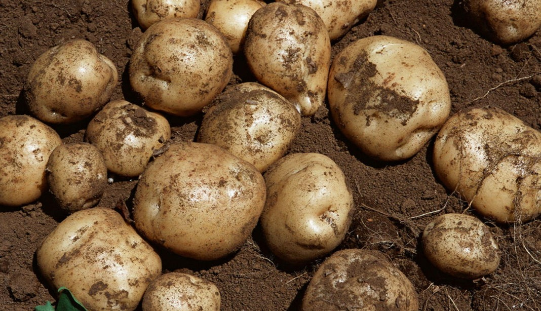 土豆的美容方法 土豆可以美容吗?