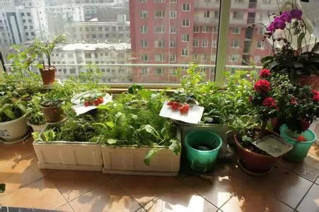 小编教你用阳台就能种出够全家吃的菜