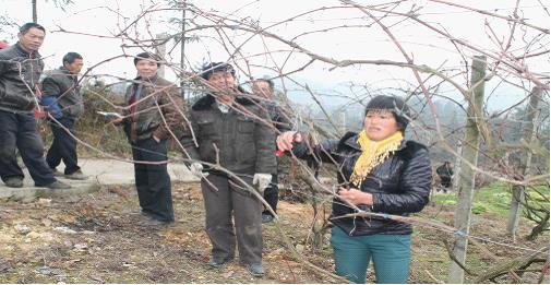 韩泽峰是杉树林村种植葡萄最早,最多的种植大户.