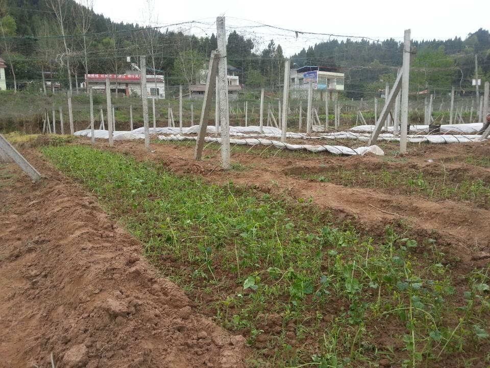健坤川瓜蒌新苗